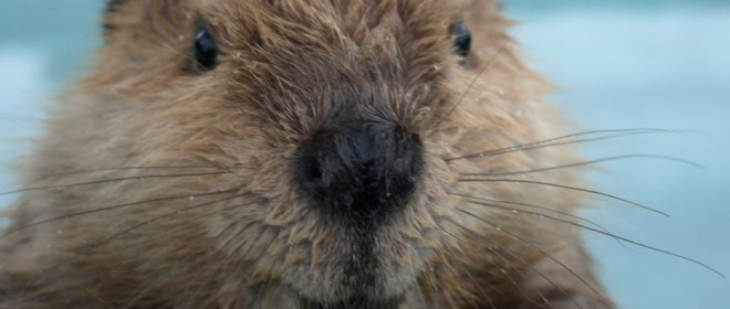Blog: Will Beavers Become Extinct?